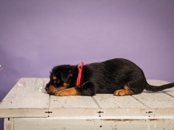 חיסונים לגורים: חיסון גורי כלבים