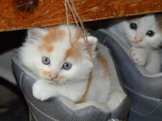 חיסונים לגורים: חיסון גורי חתולים