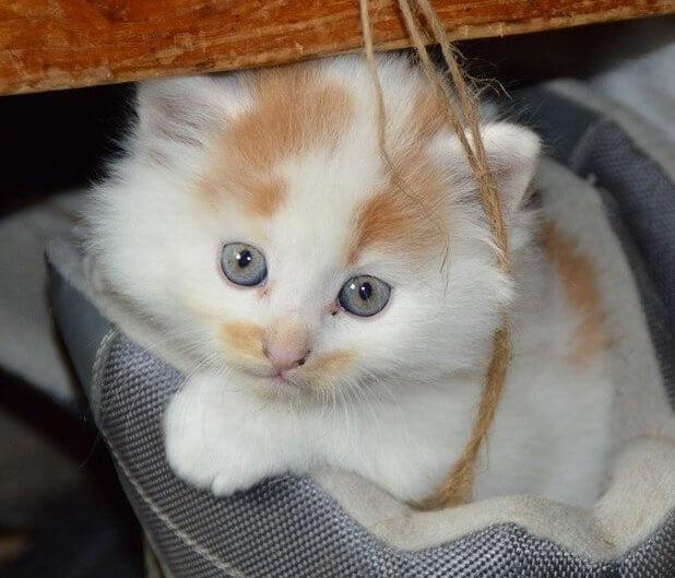חיסון לחתולים - חיסונים לגורים