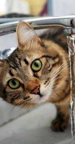 המלצות וטרינר לעידוד שתיה אצל חתולים