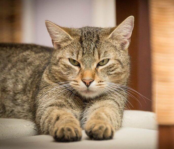 הליך סירוס חתול